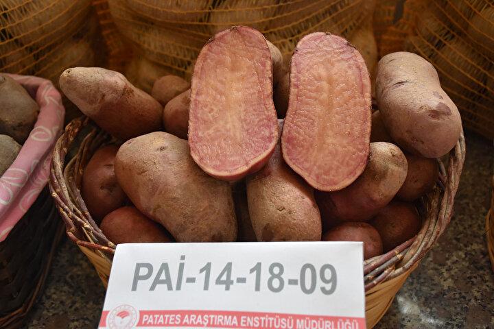 """Renkli patatesleri diğer patateslerden ayıran en önemli özelliğinin her birinin cipslik kalitede olması ve parmak patatese de uygunluğu oluğunu vurgulayan Pırlak, """"Öte yandan enstitü olarak geliştirdiğimiz renkli patates çeşitlerimiz antioksidan olarak oldukça yüksek. Şu an itibariyle geliştirdiğimiz çeşitlere özellikle Doğu Anadolu Bölgesi ve Karadeniz Bölgesinden talepler var. Kırmızı kabuklu içerisi sarı renkli olan veya dış kabuğu mor et rengi mor, dış kabuğu mor et rengi parçalı mor, dış kabuğu kırmızı et rengi kırmızı gibi renkli patates çeşitlerimiz mevcut. Şu an itibariyle bunların adaptasyon denemelerini gerçekleştirdikten sonra talepler doğrultusunda önümüzdeki sene içerisinde bu çeşitlerimizi tescile sunarak ülke tarımına kazandıracağız. Renkli patates çeşitlerimiz üzerinde hali hazırda ıslah çalışmalarımız devam ediyor ve bu renkli çeşitlerimizi artıracağız dedi."""