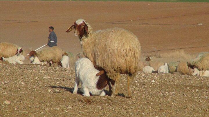 Dünyanın sayılı tarım işletmeleri arasında gösterilen TİGEM'de yüksek süt verimi ve etinin lezzetiyle bilinen ivesi cinsi koyunlar, damızlık olarak yetiştiriliyor. Her yıl besicilere katkı sunmak amacıyla ihaleyle satılan koyunlar, ülkenin hayvancılık sektörüne de önemli katkı sağlıyor. 95 bin küçükbaş hayvanın bulunduğu işletmede, yüksek verimli 35 bin koyundan elde edilen 37 bin 200 civarındaki kuzu, veteriner hekim, sağlık teknisyeni ve 300 civarında çoban tarafından özenle takip ediliyor.