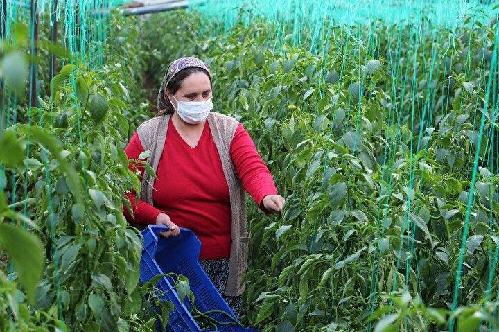 Demre ilçesine bağlı Beymelek Mahallesi'nde örtü altı serada yeşil biber üretimi yapan iki çiftçiyi, diğer yıllara oranla yüksek seyreden fiyatlar mutlu etti.