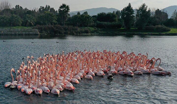 Türkiyedeki flamingoların iki üreme sahasından biri olan İzmir, kış mevsiminde de Anadolunun allı turnasına ev sahipliği yapmaya devam ediyor.