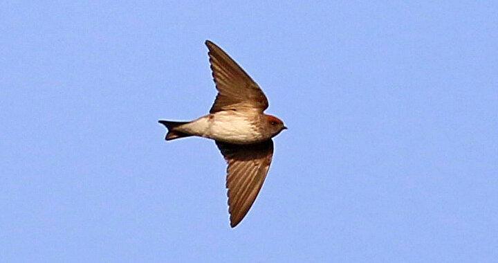 Hindistanda dağılım gösteren ve Orta Doğudaki bazı ülkelerde de kayıtlara giren çizgili gerdanlı kırlangıç (Petrochelidon fluvicola), ilk defa Türkiyede kuş ve kelebek gözlemcisi Orhan Gül tarafından görüntülendi. Hatayın Samandağ ilçesi Milleyha sahil şeridinde görülen ve kayıtlara giren bu türle, Türkiyenin kuş türü listesindeki sayı 489a çıktı.