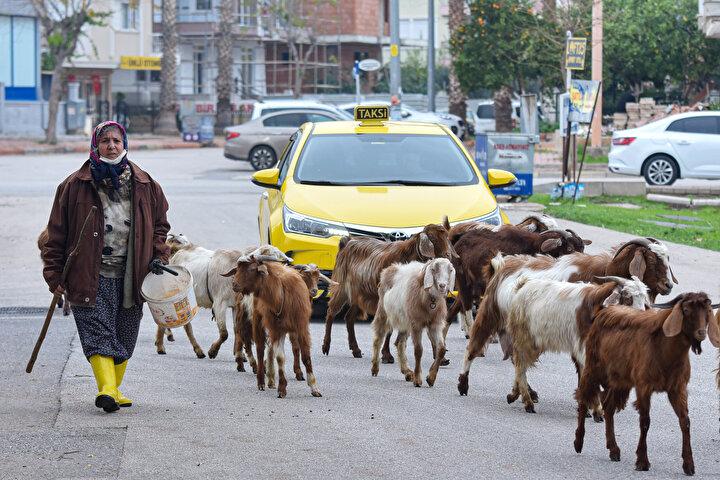 Kurban Bayramı öncesi sattığı keçileri kesileceği için üzüntüden ağladığını belirten Menşure Albayram, büyükşehirde çobanlık yaparak geçen günlerini şu sözlerle anlattı:Ailem beni okutamadı. O zaman Konyaaltında ortaokul yoktu. Hayvanlara bakarak büyüdüğüm için onları bir kenara bırakamadım. Hep çobanlığa devam ettim. Eşim çobanlığı pek sevmez. İneklerimi sattım ama keçilerime bakmaya devam ediyorum...