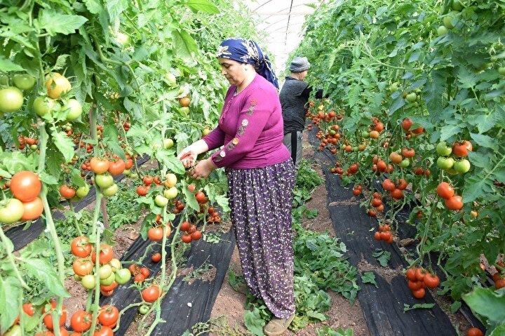 """Kumluca Tarımsal Kalkınma Kooperatifi Başkanı ve domates üreticisi Mustafa Çetin ise domatesi Kumluca Hal'ine 1.80 Liraya sattıklarını, üzerine 1 Lira paketleme ve nakliye ücreti koyulması durumunda 2.80 TL olacağını belirterek  İstanbul'a bu domates 2.80 Liraya ulaşıyor. Neden tüketici bu domatesi 10 Liraya yiyor. Bu aracıların araştırılması gerekiyor. Eğer bu konuyu araştırırsak üretimden tüketime güzel bir ağ oluşturursak hem üretici maliyetinin altında satarak zarar etmez. Hem de tüketici çok yüksek fiyatlarla beli bükülmez. Sofrasına bu sağlıklı yiyecekleri koyar. Bizim sloganımız bu, Hem üreticinin hem de tüketicinin beli bükülmesin"""" dedi."""