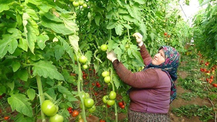 Kumlucalı domates üreticileri, Kumluca Hal çıkışı 1. 80 Lira olan domates fiyatlarının büyük şehir market raflarında veya pazarlarında 10 Lira olmasının nedenini sordu.