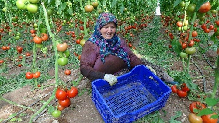 """Domates Üreticisi Hatice Kanga (60), serada dalından topladığı domatesleri kasaya yerleştirirken aradaki fiyat farkını kendilerinin bile anlamadığını söyledi. Kanga, Bu domatesleri böyle topluyoruz. Burada 1 Lira 80 Kuruş İstanbul'da 10 Lira. Bu aradaki farkı kim yiyor"""" dedi."""
