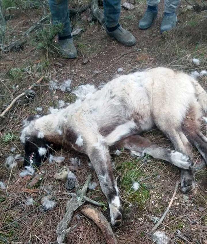 Zehirli balık kafalarından yiyen 8 çoban köpeği zehirlenerek öldü