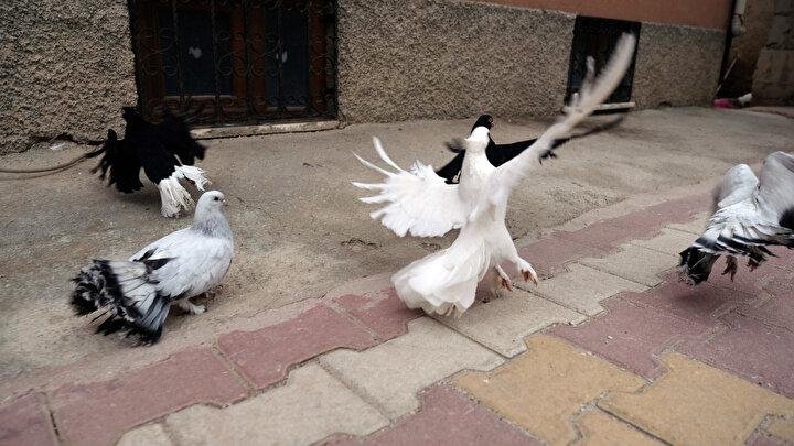 Lunapark işleten Seyit Mehmet Gürler, dedesinden kalma güvercin yetiştiriciliğini hobi olarak sürdürüyor. Evinin bahçesini güvercinleri için büyük kümese çeviren Gürlerin yetiştirdiği kuşlar arasında, nesli Osmanlı ve Selçuklu dönemlerine dayananlar da bulunuyor. 4 kuşaktır güvercin besleyip, yetiştirdiklerini belirten Seyit Mehmet Gürler, Bu hobi, dedemin dedesinden kalma. Yaklaşık 200 yıldır bizim kapımızda bu güvercinlerden var dedi.