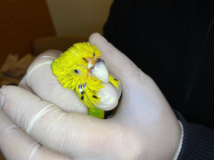 Veteriner Hekim Onur Değirmen, kuşun gaga ameliyatı sonrası oldukça sağlıklı olduğunu söyledi. Gaganın çok önemli bir organ olduğunu, içinde kan damarları ve sinirler olduğunu vurgulayan Değirmen, Bu kuşlarda çok yapılamayan bir operasyondu. Türkiyede yapılmamış bir operasyon dedi. Değirmen, kuşun burnunda oluşan tümörün gagayı etkilediğini, ilaçlarla bu bölgeyi temizlemek isterken gaganın kendiliğinden düştüğünü söyledi. Kuşun sahibinin umutsuz bir şekilde kliniğe geldiğini, uyutulmasının dahi düşünüldüğünü belirten Veteriner Hekim Değirmen, Daha önce Türkiyede gaga tamamen düşmemiş ve öyle ameliyatlar yapılmış. Kliniğimizde bu operasyonu yapmaya karar verdik. Toplamda 2,5 saate yakın sürdü. Dişlerde kullanılan akrilik maddeyi şekillendirip gaga yaptık ve çocukların dişlerinde kullanılan implant ile gagayı sabitledik. Cevriye, şu an yeni gagasına alışma devresinde, ötme problemi var. Yemesi de gayet iyi. Kuşun sağlıklı olması bizi fazlasıyla mutlu ediyor. Türkiyede ilk kez bu tarzda yapılan bir ameliyat oldu diye konuştu.