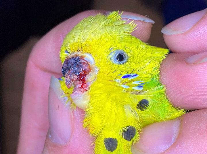 Ameliyatı yapan Veteriner Hekim Onur Değirmen ile tekniker Emre Dipevliler, muayeneye getirilen muhabbet kuşunun gayet sağlıklı olduğunu gördüklerini aktardı. Yapılan gagayı da kontrol eden ameliyat ekibi, kuşu bir sonraki kontrol için Helen Sanem Gültekine teslim etti.