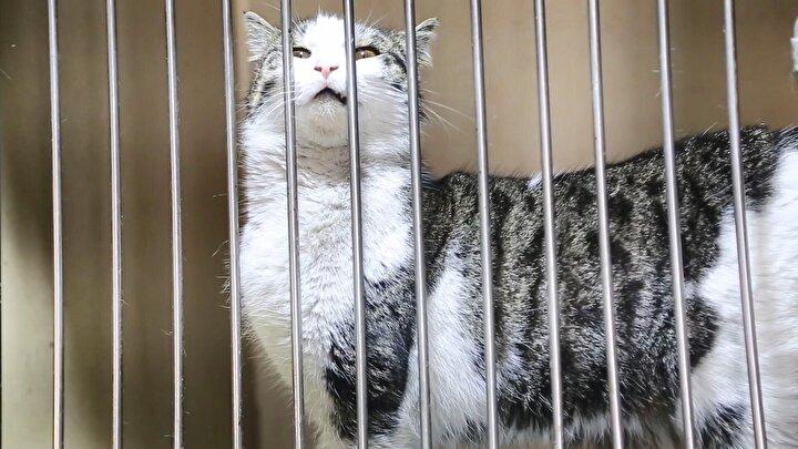 """Onun dışında hamile olduğu düşünülerek tutulan kedilerin FİP olması durumunda yine aynı şekilde çok hızlı bir yayılma durumu söz konusu olacak. Bize getirilen kediler, dışarıdan bakıldığında birkaç gün içerisinde doğuracak pozisyonda oluyor. Biz bunun muayenesini yaptığımızda kedinin hamile olmadığını ve vakamızın FİP olduğunu tespit ediyoruz. Evlerinde kedi besleyenler kedilerini dışarıya çıkartıyorlarsa ve bir şekilde sokak kedileri ile aynı alanlarda bulunuyorlarsa tabii ki risk vardır. Şu aşamada insanlara bulaştığına dair net bir çalışma yok ama sonuçta virüs. İleride bulaşabilir mi? Evet, ihtimal vardır"""" dedi."""