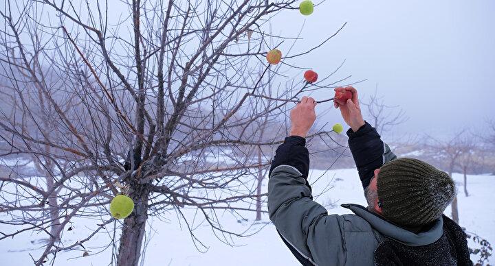 15 yaşından bu yana dağlarda gezen evli ve 1 çocuk babası Hasan Hüseyin Kahriman, tipi ve kar yağışı olduğu zamanlar da bile yaylalara giderek kuru ağaçlara elma takıyor.