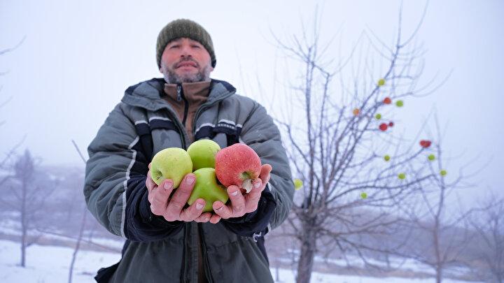 Kuru ağaç dallarına hayvanlar için elma asıyor