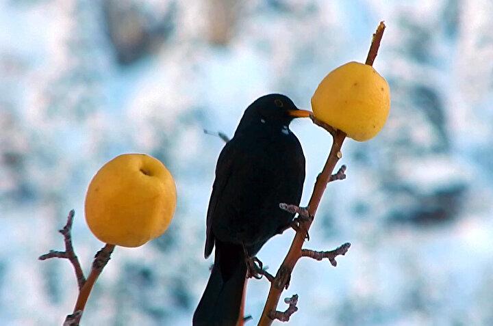 Hatta tilki, sansar gibi hayvanların da elmalarla karnını doyuruyorum. Çok kar yağdığı zamanlar tavşanlar da yiyecek bulamayınca ağaçların kabuklarını kemiriyor. Bunu engellemek için de ökse otunu ağaçlara bağlıyorum...