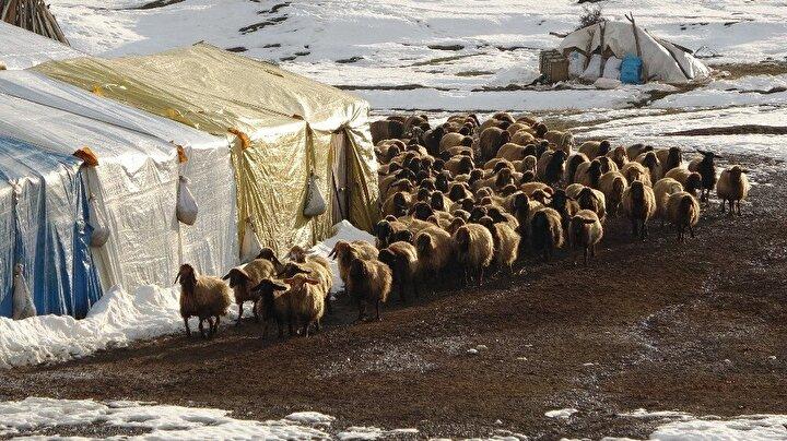 Merkeze bağlı Ağaçlık köyünde hayvancılık yapan besiciler, yeni doğan süt kuzularını günde 2 defa anneleriyle buluşturuyor. Küçükbaş hayvanların beslenmesinin ardından anneler yavrularını koku ve sesinden tanıyarak emziriyor. Kapıların açılmasıyla koşuşmaya başlayan kuzular, ortaya renkli görüntüler çıkarıyor.
