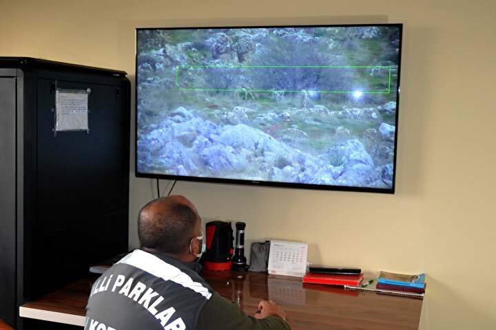 """Akın, Gazella gazella olarak bilinen dağ ceylan türü, dünyada sadece İsrail ve Türkiye'de yaşamlarını sürdürdüğü ve dünyada sadece 3 bin adet kaldığı belirtilen bir türümüz. Tarım ve Orman Bakanlığı Doğa Koruma ve Milli Parklar Genel Müdürlüğümüz tarafından 2014 yılında bir üretim tesisi kuruldu. Bu tesis aynı zamanda dağ ceylanlarının yaşam alanıdır"""" dedi."""