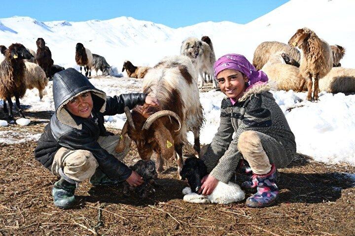 Şırnak'ın Beytüşşebap ilçesine bağlı Yeşilöz köyü Faraşin Yaylasında Aslan ailesi, yüzlerce hayvanı 10 ve 8 yaşındaki evin 'küçüklerine' teslim etti. 10 yaşındaki Axin ile 8 yaşındaki Berat Aslan, sabahın ilk ışıkları ile birlikte hayvanları alıp otlatmaya götürüyor. Aslan kardeşler, akşam saatlerine kadar koyun ve keçilere çobanlık yapıyor. Kurt sürülerine karşı sürekli hayvanların arasında dolaşan çocuklar, yeni doğum yapmış keçinin oğlaklarını soğuklardan korumak için ise saman yığınları içinde bekleterek süt içmelerine yardımcı oluyor.