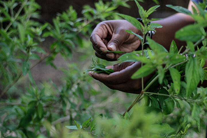 Mhaka yaptığı açıklamada, Zumbani iyileşmemize yardım etti, o bitkiyi kullanmasaydık ölmüş olurduk. dedi.