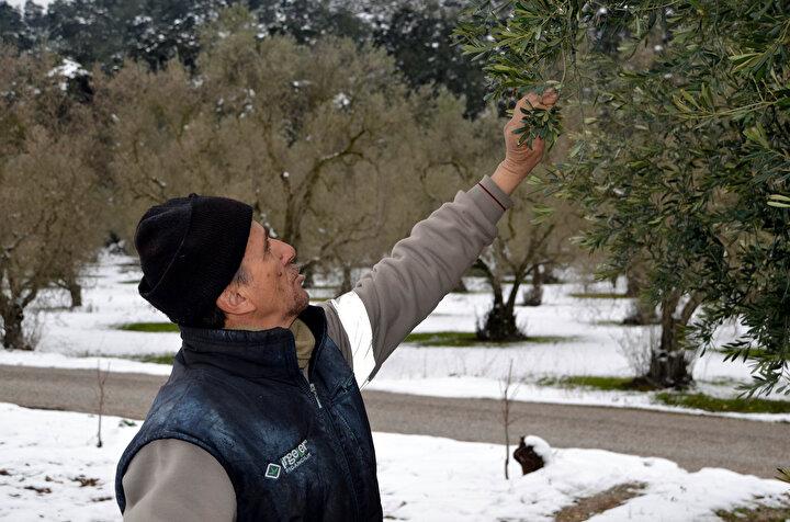 Bursada yalancı bahara aldanan zeytin ağaçları, don nedeniyle yandı