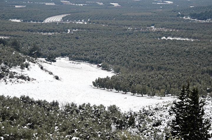 TÜRKİYE'NİN ZEYTİN İHTİYACININ YÜZDE 13'Ü BURSA'DAN Zeytin ağaçlarının hava sıcaklarının sıfırın altında 7 dereceden sonra donma tehlikesi geçirdiğini belirten İl Tarım Müdürü Hamit Aygül, İlimizde önemli miktarda sofralık zeytin üretimimiz var. Türkiye zeytin üretiminin yüzde 13ünü Bursa karşılamaktadır. Çiftçilerimiz için önemli bir gelir kaynağı. Aynı zamanda Çiftçi Kayıt Sistemine kayıtlı 10 binin üzerinde çiftçimiz var. Toplam zeytin üreticimiz de 30 bin civarında. Böyle olunca zeytin Bursa için çok büyük önem ifade ediyor...