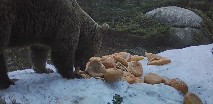 Bursa'da bir çiftçi, telef olan ineğinin yaban hayvanlarına yem olarak verilmesi için Milli Parklar Müdürlüğü'nü aradı.