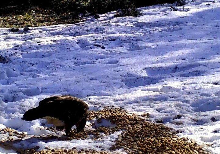 Milli Parklar Müdürlüğü ekiplerinin, Uludağ'daki besleme çalışmaları da foto kapana yansıdı.