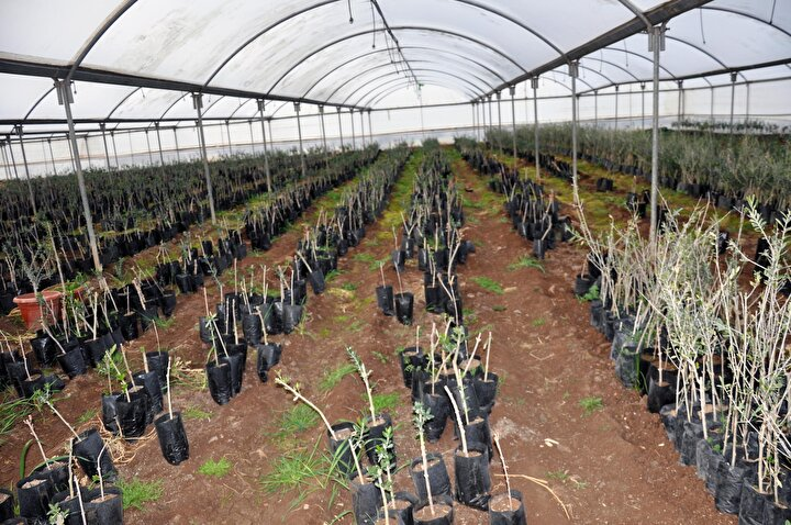 5 bin zeytin fidanı ile üretime başladı, 200 bine ulaştı