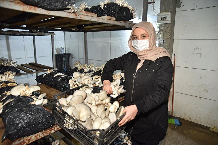Kahramanmaraşın Türkoğlu ilçesinde oturan kadın girişimci, merak saldığı ve hobi olarak başladığı istiridye mantarı yetiştiriciliğinde talebi karşılayamayacak noktaya geldi.