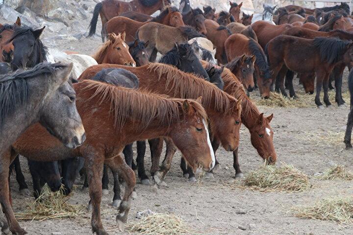 Erciyes Dağının eteğinde yer alan ve 500 civarında yılkı atına ev sahipliği yapan Hürmetçi Sazlığı, Türkiyenin dört bir tarafından fotoğraf ve doğa tutkunlarının ilgisini çekiyor. Bölgede sürüler halinde gezen, zaman zaman dört nala koşan ve ziyaretçilerine güzel fotoğraf kareleri sunan yılkı atlarını, Ali Dayı lakaplı Ali Kemer besliyor.