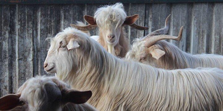 Kesime gidecek gebe keçileri satın alarak kurtardığını ifade eden Mefaret Özmez, Bir üretim çiftliği kapatılmıştı. Orada da 7 tane keçi vardı. Gebe keçileri para vererek aldım. Şimdi barınağımda gözüm gibi bakıyorum. 7 keçi bir yıl sonunda 20 keçiye ulaştı. Ben bu keçileri aldığım ilk gün söz verdim. Ben yaşadığım sürece hiç kimseye ne parayla ne de bedava vermeyeceğim.