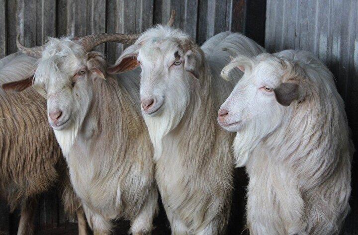 Birçok kişi keçilerden istemesine rağmen keçiler kesilir diye kimseye vermeyen Özmez, 100 bin lira teklif edilse de keçileri kimseye vermeyecek.