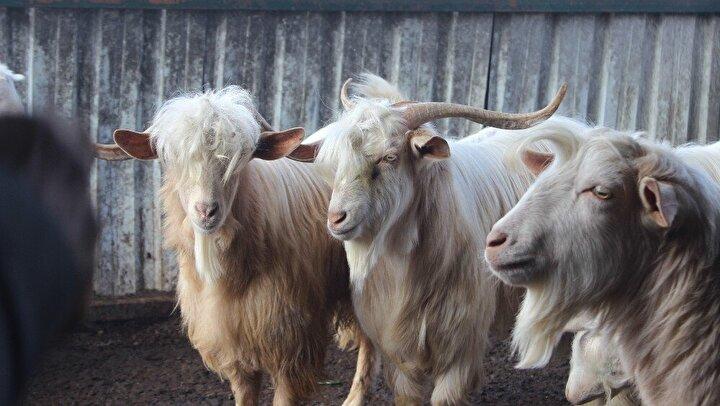 Maliyetli olmasına rağmen etinden ve sütünden faydalanmayı düşünmediği keçileri besleyen Özmez, hayvanseverlerden yem ve ot yardımı bekliyor.