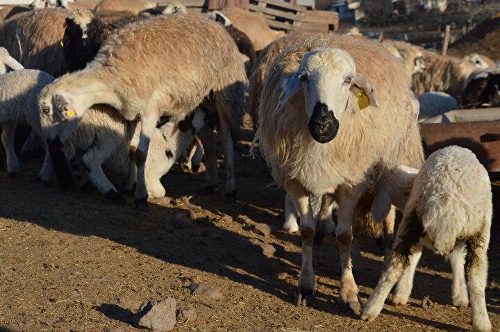 Elazığda, baharın müjdecisi olarak kabul edilen koyunların kuzulama dönemi başladı. Kuzular, süt veriminin artırılması amacıyla annelerinden ayrı olarak ağıllarda tutuluyor. Merkeze bağlı Nuralı köyünde Şavak aşiretine üye aileler yıllardır küçükbaş hayvancılıkla uğraşıyor.