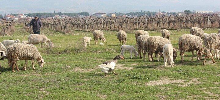 Koyunların sahibi 2 çocuk babası Hasan Çalın, yaklaşık 2 aydır koyunlarla birlikte otlamaya giden kazın koyunların yanına yabancı insan ve hayvan yaklaştırmadığını belirterek, Koyunların yanına yabancı insan veya hayvan yaklaşırsa bağırıyor ve saldırıyor dedi.Çalın, yaklaşık 50 yıldır hayvancılık yaptığını ve şimdiye kadar hiç böyle bir olaya tanıklık etmediğini söyledi. Evinde beslediği başka kazlar olduğunu dile getiren Çalın, Yaklaşık 2 ay önce meraya koyunları otlatmaya götürdüm. Merada koyunları otlatırken kazı koyunların içinde gördüm. Eve yakın bir bölgedeydim. Herhalde otlamaya gelmiştir diyerek dikkate almadım. Akşam koyunları eve götürdüm, kaz koyunlarla birlikte ahıra girdi. Ben de çıkarmadım. Sabah koyunları otlatmaya çıkardım. Kaz yine koyunlarla birlikte meraya gitmek istedi, ben de dokunmadım. Ondan sonra sürekli koyunlarla birlikte yaşamaya başladı diye konuştu.