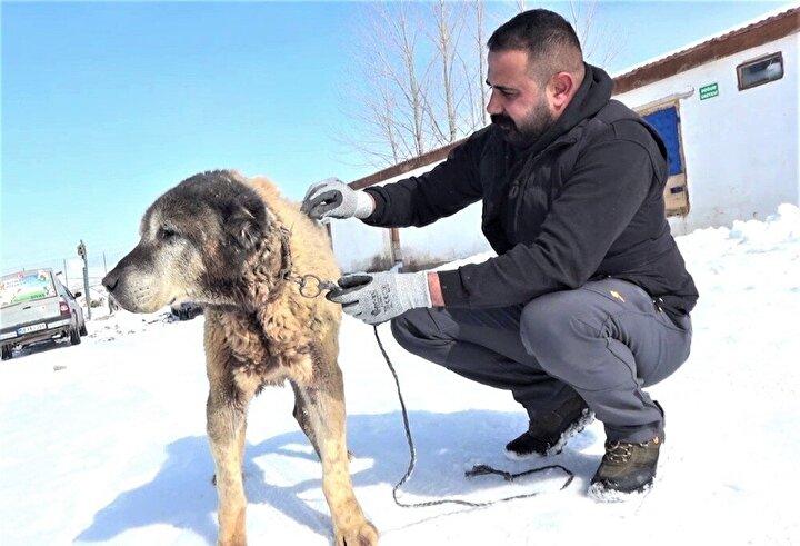 Sivas'ın Altınyayla ilçesinde bir çiftlikte yetiştirilen Türkiye'nin en yaşlı köpeklerinden biri olan Şerkan adlı Kangal köpeği görenlerin dikkatini çekiyor. İlçede Umut Taşdelen'e ait Kangal köpeği çiftliğinde yetiştirilen yaşlı köpeğin bakımı yıllardır büyük bir özenle yapılıyor. Sahibi Taşdelen tarafından her türlü ihtiyacı giderilerek yetiştirilen 18 yaşındaki yaşlı köpeğin bu günlerde ise hiçbir sağlık problemi bulunmuyor. Taşdelen yaşlı köpeğinin geçtiğimiz günlerde Türkiye'nin en soğuk yerleşim yeri olan Altınyayla ilçesinde eksi 26 dereceyi atlattığını ifade etti. Yaşlı köpeğine vefa borcunun olduğunu söyleyen Taşdelen, ilgi ve sevgi göstererek bu vefa borcunu ödemeye çalıştığını ifade etti.