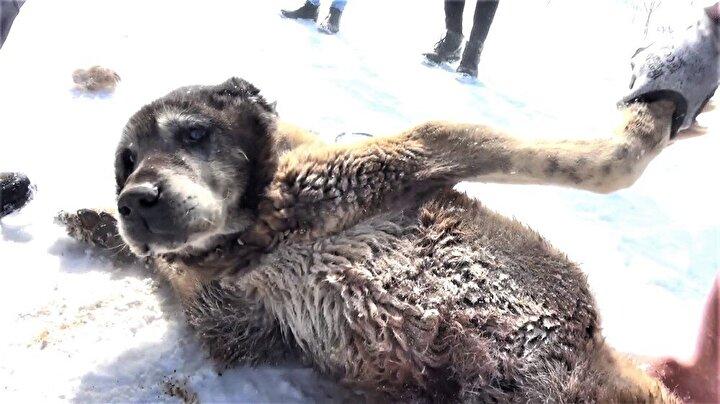 """Kangal Köpeği yetiştiricisi Umut Taşdelen, Şerkan adlı yaşlı Kangal köpeğinin geçtiğimiz günlerde eksi 26 derece ile Türkiye'nin en soğuk yerleşim yeri olan Altınyayla ilçesinde en soğuk geceyi atlattığını belirterek, """"Kangal köpeği çiftliğinin en yaşlı üyesi Şerkan adlı Kangal köpeği, yıllara meydan okuyor. Aynı zamanda Türkiye'nin de en yaşlı köpeklerinden biridir. Yaşı şu anda 18'dir. Şerkan adlı köpek, zor hava şartlarına, sıcak iklimlere meydana okumaktadır. Şerkan eksi 26 dereceyi gördü. Sivas'ın en soğuk ilçelerinden biri, olan Altınyayla ilçesinde, güzel şartlarda bakıldığı ve ilaç tedavileri düzenli yapıldığı için köpeğimiz dinç ve yıllara meydan okumaktadır. Şerkan'ın şuan üretimde bize katkısı yok lakin bir vefa borcumuz var. Bu vefa borcunu Şerkan'a güzel bakımlarla, ilgi ve sevgiyle ödemeye çalışıyoruz. Şu anda hiçbir sağlık problemi bulunmamaktadır"""" diye konuştu."""