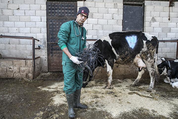 Tutar, ineğin doğumdan 20 gün sonra şişliğin inmemesi üzerine yaptıkları incelemelerde karnında metaller anlaşılması üzerine ameliyata karar verdiklerini belirtti.