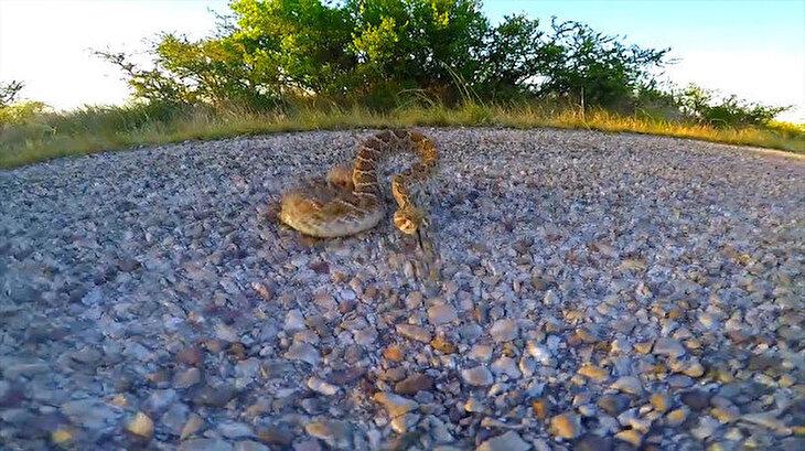 Yolda yatarken uyandırılan çıngıraklı yılan turiste böyle saldırdı