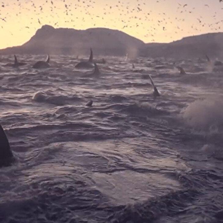 Norveç Denizi'nde 300'den fazla Orka'nın kameraya yansıdığı anlar