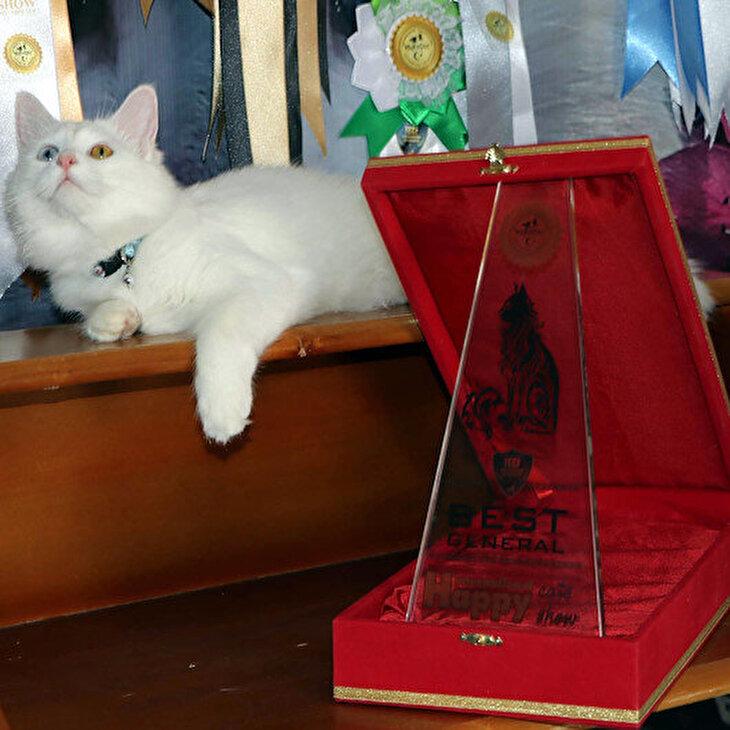 Van kedisi 'Su' en güzel kedi seçildi