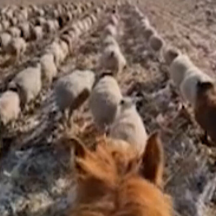 Koyunlarına askeri düzende yürümeyi öğretti