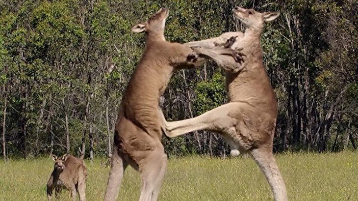 Kanguruların nefes kesen boks maçı