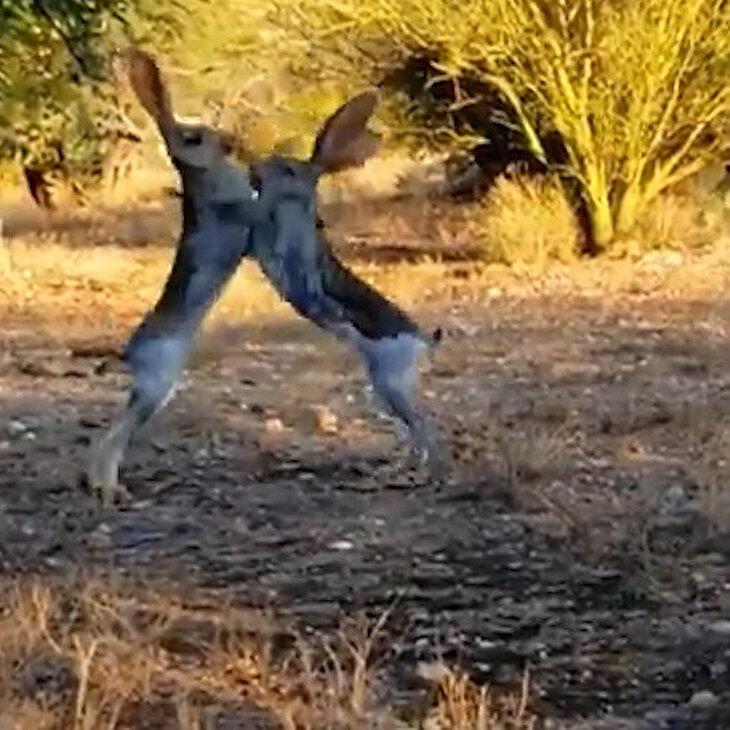 Vahşi kır tavşanlarının inanılmaz kavgası