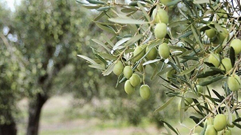 Zeytinlikler için Koruma Kurulu kurulacak