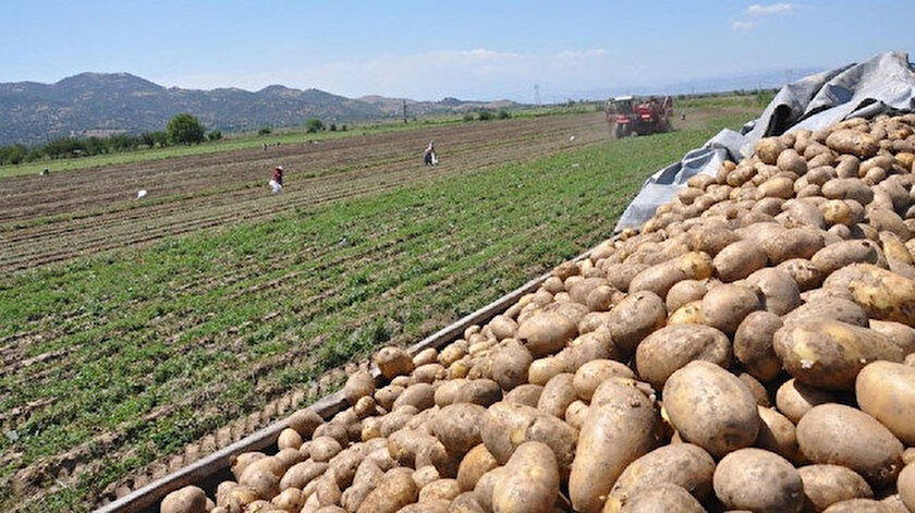 Patates hasadı