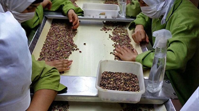 Antep fıstığı üretim.