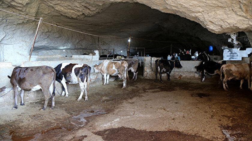 Hava sıcaklığının 45 derecelere ulaştığı Şanlıurfa'da kurbanlıklar mağaralarda yetiştiriliyor.