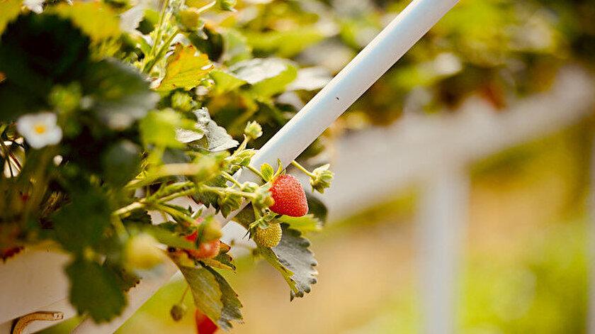 Çocukları için organik çilek ürettikleri bahçe geçim kaynakları oldu