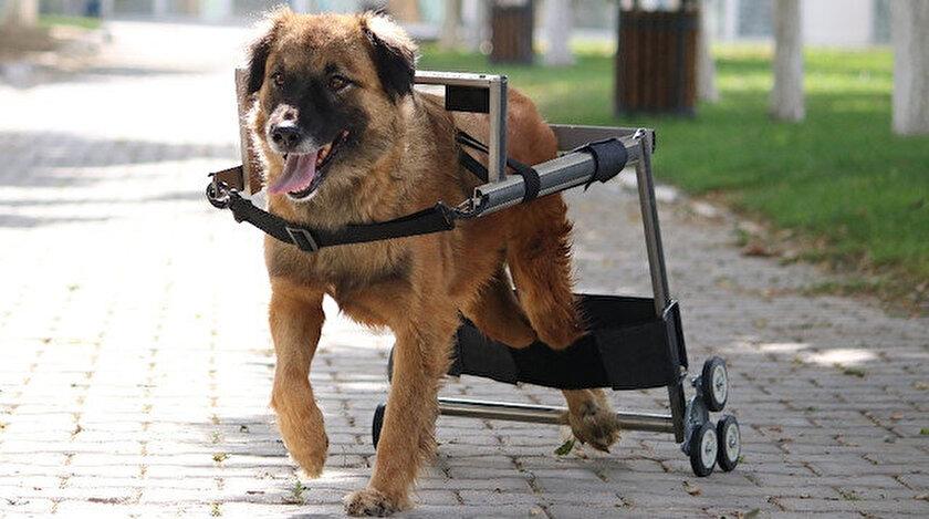 Vestel'in engelli hayvanları hayata bağlayan yürüteç projesine İngiltere'den ödül geldi.
