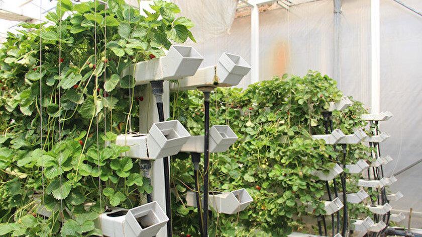 Çöpten elektrik üretimi sırasında ortaya çıkan atık ısıyla domates ve biber gibi sebzelerin yanında orkide üretiliyor.
