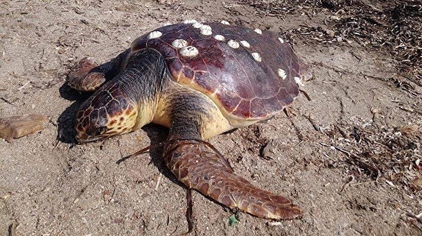 Ayvalık'ta ölü bulunan caretta caretta cinsi kaplumbağanın incelemeler sonucu iç organlarının alındığı belirtildi.